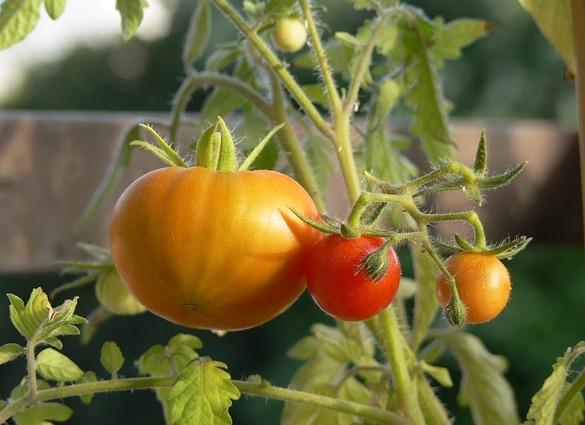 tomatoes plant diet